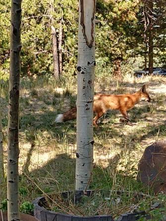 breck fox 2