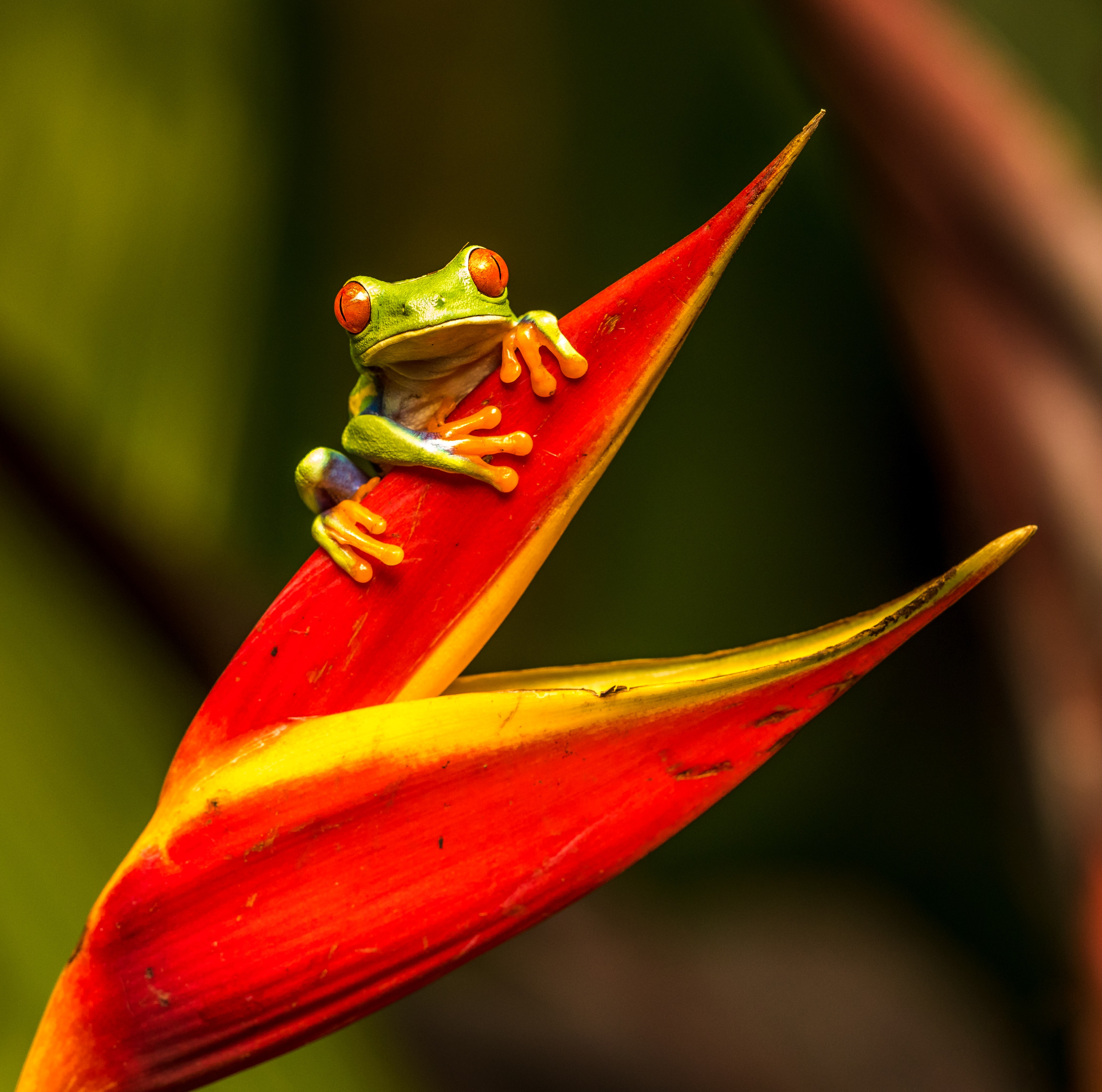 Small green frog on a red leaf.